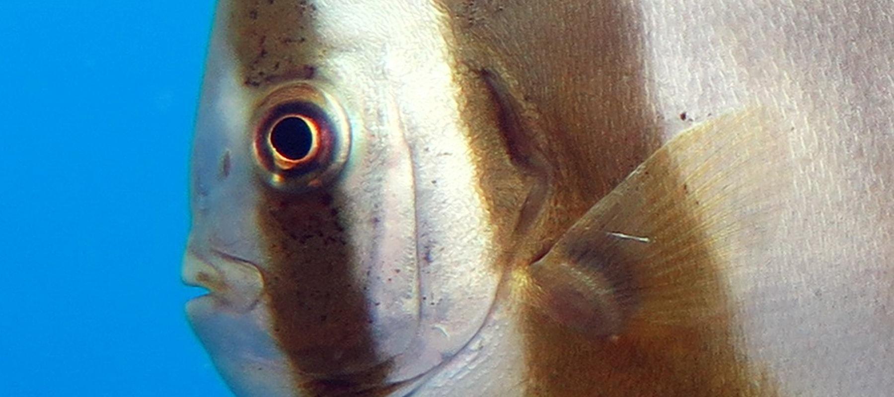 bigfin-batfish