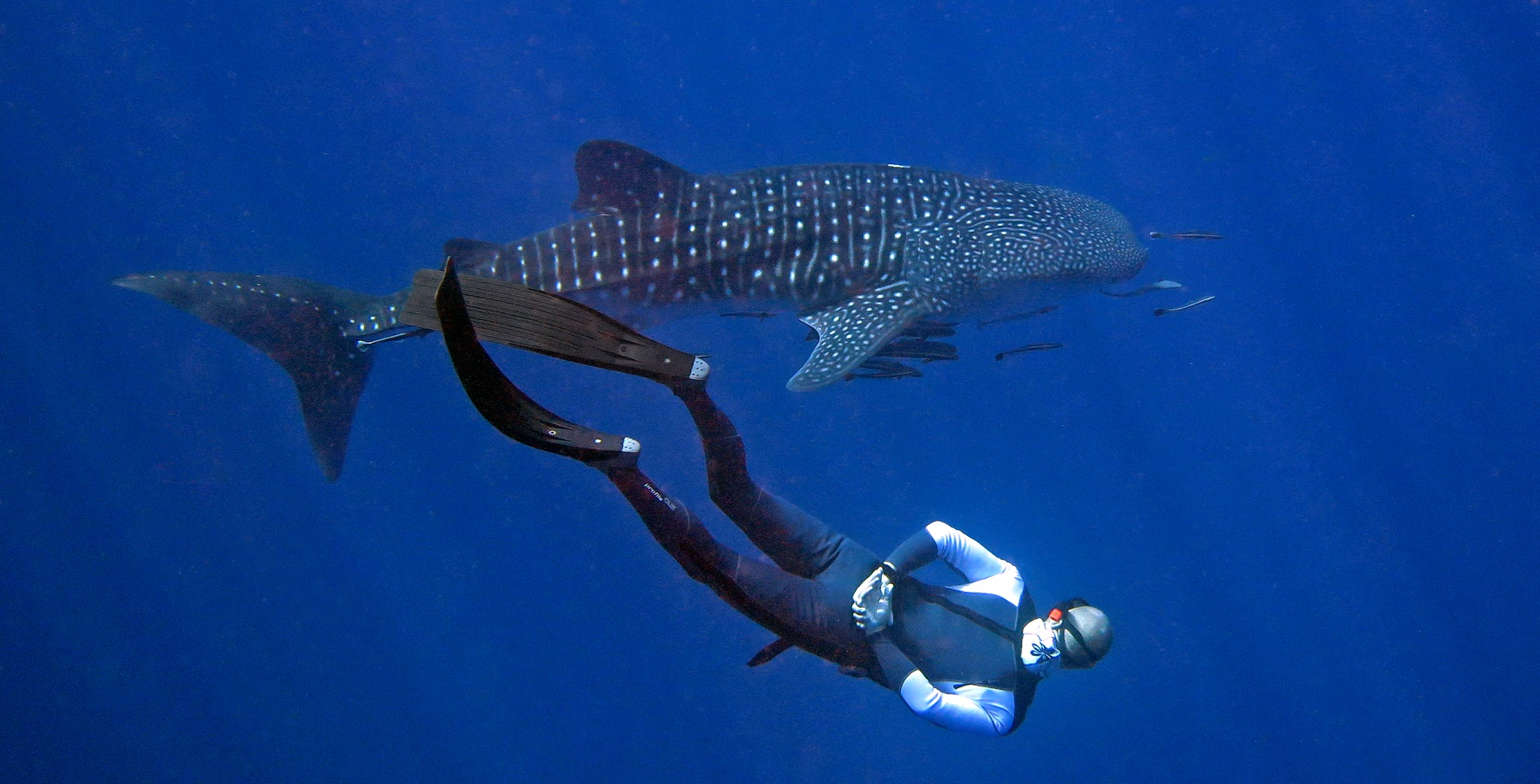 freediving-with-whaleshark